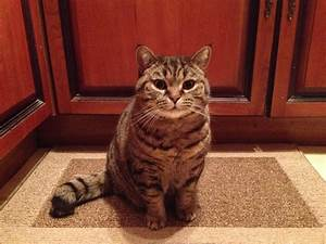 British shorthair Tabby Cat | Manchester, Greater ...