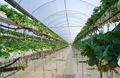 Strawberry Hydroponic Sytem Strawberries Pieria Greece Farming