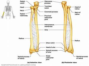 Anterior And Posterior View Of The Radial And Ulnar Bones