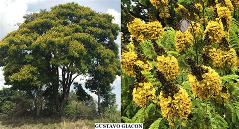Viveiro Ciprest - Plantas Nativas e Exóticas: Sibipiruna ...