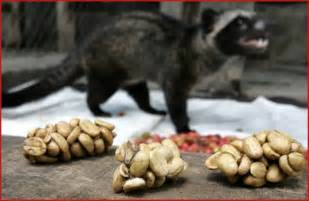 civet cat coffee world s luxurious civet coffee is the world s most