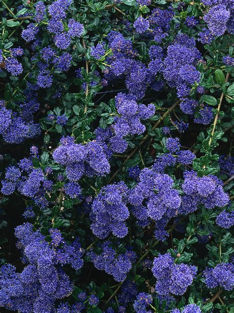 medium sized bushes 22 medium size shrubs for your landscape landscaping ideas and
