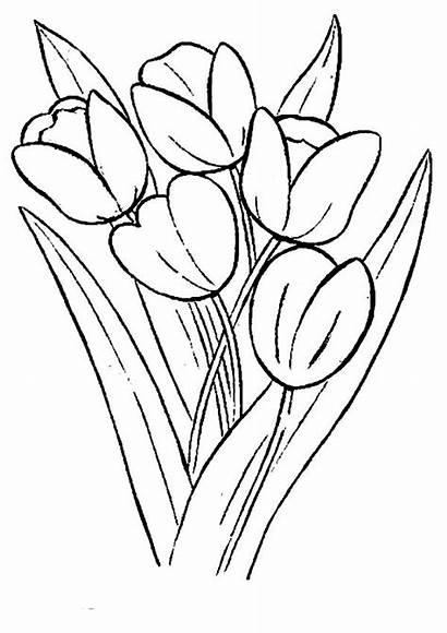 Bunga Tulip Gambar Sketsa Mewarnai Coloring Tulips