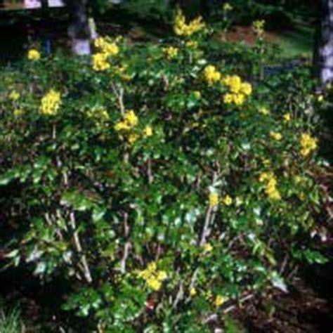 tall oregon grape mahonia aquifolium native plant guide