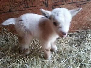Image Gallery nigerian dwarf goat rescue