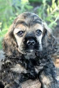 Sable Cocker Spaniel Puppy
