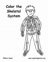 Coloring Skeleton Skeletal System Elementary Pdf Exploringnature sketch template