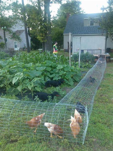 cheap canopy beds for sale our chickens in their diy chicken tunnel we live in a