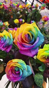 Holland Rainbow Rose Flower