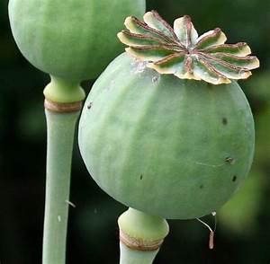 Index of /Flowers/P/Poppy(Opium)