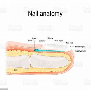 Nailbed Anatomy