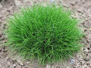 Pflanzen Für Teichumrandung : zwergiger b renfell schwingel festuca gautieri pic ~ Michelbontemps.com Haus und Dekorationen