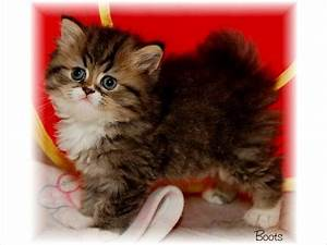 Full Grown Teacup Cats For Sale | www.imgkid.com - The ...
