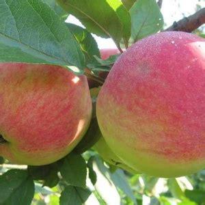 DOČ MELBI - Vasaras ābele