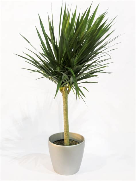 natural plants dracaena tarzan tree  alphaplantes