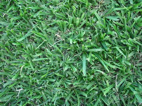 Kikuyu Grass, Couch Grass, Buffalo Grass Turf Varieties