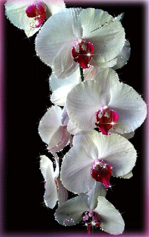 gilittering orchids pictures   images