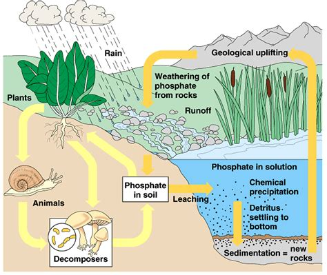 what does phosphorus do for plants plant life phosphorus cycle