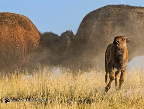 yellowstone bison national uploaded wildlife