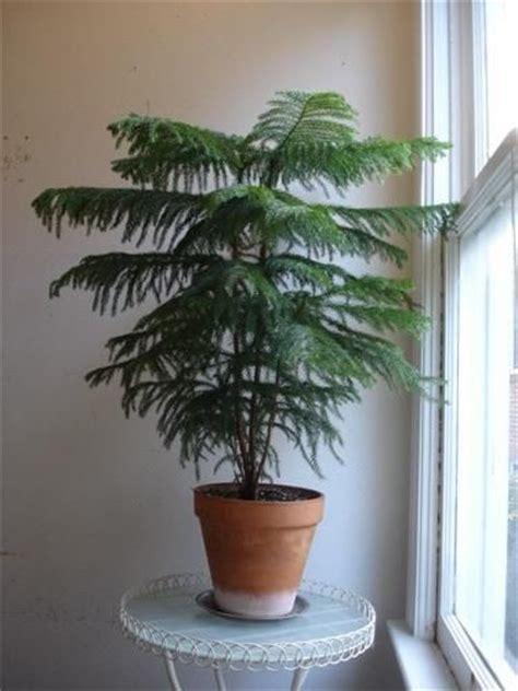 norfolk island pine araucaria heterophylla  adapt