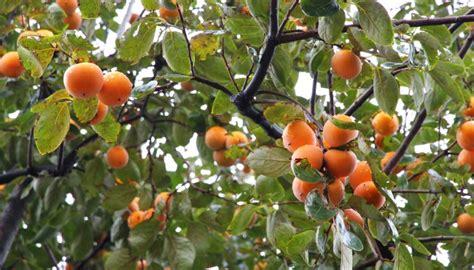 kaki essen gesund kaki frucht und rezepte lecker gesund codecheck info