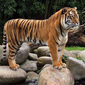 biologists home   tiger stripes  turing patterns