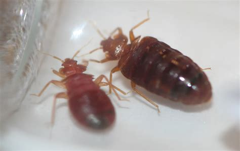 bed bug identification bed bug pictures rose pest control