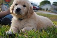 Baby Golden Retrievers Puppies
