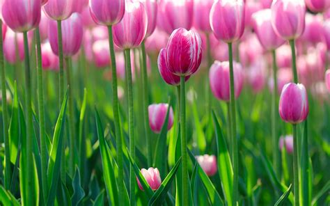 Tulip Picture Hd by Hd Tulip Wallpapers Hd Pictures