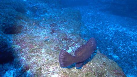 hawaiian fish endemic grouper found kure quernus nowhere epinephelus else