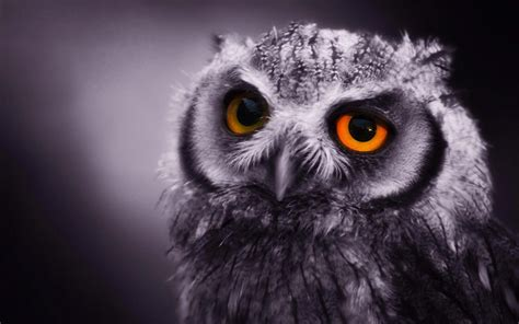 Hd Owl Wallpapers by Owl Hd Wallpapers Hd Wallpapers