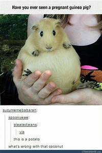 guinea pig memes almost as and as guinea pigs