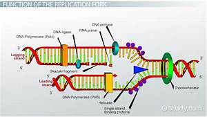 Dna Replication Fork  Definition  U0026 Overview