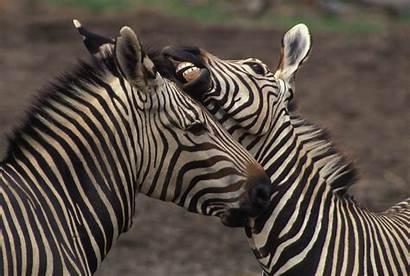 Zebra Desktop Backgrounds Damara Zebras Teeth Zoo