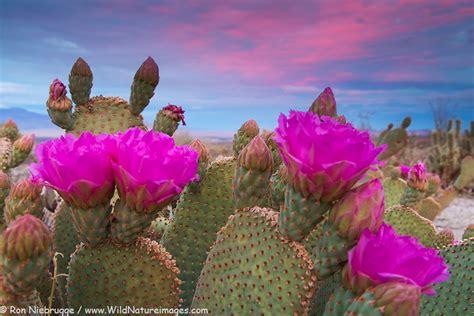 beavertail cactus pictures