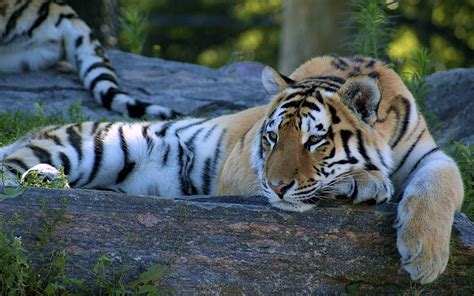 Best Tiger HD Desktop Background | HD Wallpapers