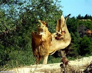 Borne Free Lyon : lion born free pictures ~ Medecine-chirurgie-esthetiques.com Avis de Voitures