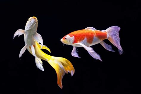 panduan memelihara ikan hias air tawar antara hobi