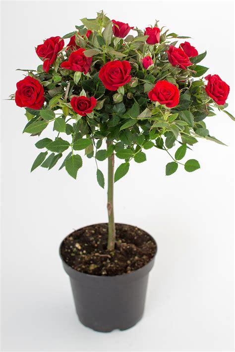 mini roses love me mini roses on stems roses forever