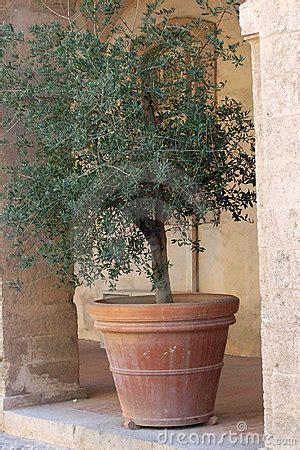 ulivo in vaso ulivo come prendersi cura dell albero di ulivo in balcone