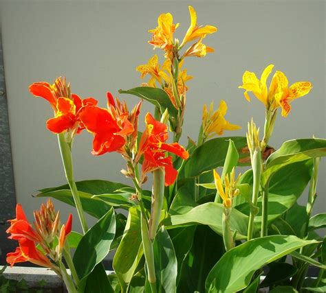 tropical canna lily color mix  seeds