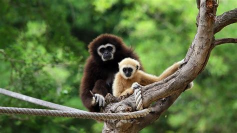Animal Print Wall Paper White Handed Gibbon Facts Photos National Geographic Kids