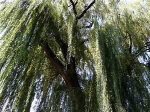 Taille Du Saule Pleureur : saule pleureur planter et tailler ooreka ~ Melissatoandfro.com Idées de Décoration