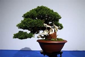 Chinesischer Wacholder Bonsai : wacholder ~ Sanjose-hotels-ca.com Haus und Dekorationen