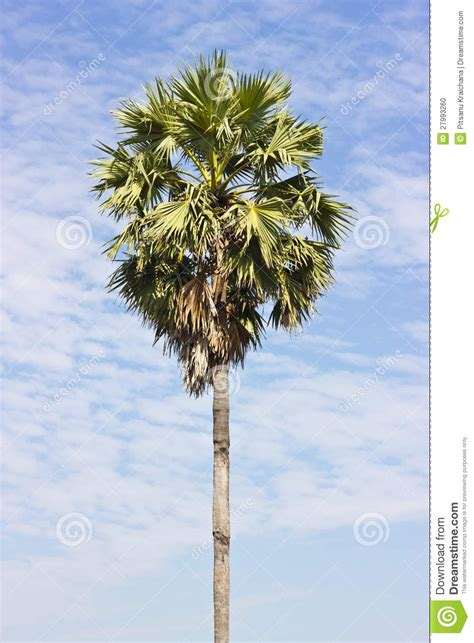 sugar palm trees stock photo image  dense asia life