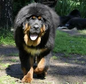 53 best images about Tibetan Mastiff on Pinterest | World ...
