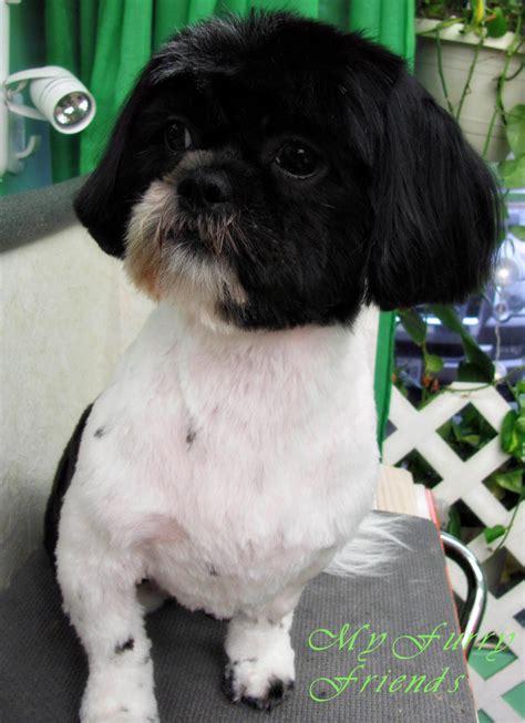 pet grooming  good  bad  furry shih tzu day