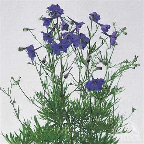 plant profile for delphinium grandiflorum blue pygmy delphinium perennial
