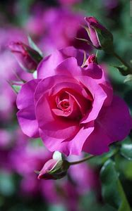 Beautiful Pink Roses Flowers