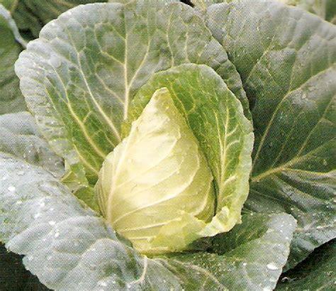 cuisiner chou pointu plants de legumes